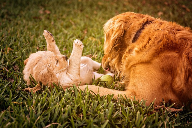 puppy-playing-with-parent